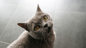 10月29日より野生のネコ スナネコのアミーラと妹の…|モバイル版Google検索で猫や犬をAR表示する機能…|ネコの姿を歴史資料などから読み解く 美浜町歴史文化館…