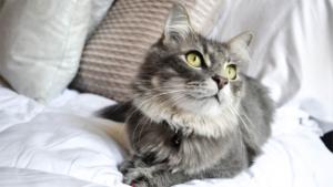 22歳になった猫さまの貫禄がすごい! 人間換算100歳超えの美しい白猫さんに …|マスクバッグ の新色2種とネコ型3種を発売 ネコリパブリックから(BCN)