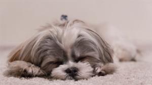 人間を信じていいんだ 捨て置かれていた犬が保護され …|1年で7歳 は俗信? 科学で計算できる 愛犬の実年…|二人六脚:保護犬イブと暮らして/5 熱中症 食欲なく…|他