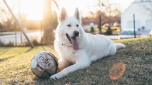 PTSDで不安に押しつぶされそうになっている飼い主に…|在宅時に起こる愛犬のケガ…同居犬との喧嘩 耳や被毛の…|日本人はこんな風に犬を飼っていたのか・・・ さすが法…