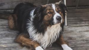 愛犬家要注意! 犬を載せる時にやりがちな重大な交通違…|18キロです……生後3カ月なんです…… 秋田犬の…|セラピー犬のパグ ハーリー 医療従事者を笑顔に
