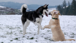 希少犬 オーストラリア犬のモノマネに 世界中が腹筋崩…|犬は歴史上 人が初めて家畜として飼育した動物とか…|藤井聡太似? ペキニーズ犬に反響|他