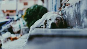 コロナ疲れ 犬が癒やす|8か月前に拾った犬だけど 今はすっかりくつろいでる…|おばあちゃん犬とともに おかーさんの性格も変わってき…|他